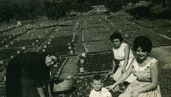 Sequer amb canyissos plens de pansa de Josefa Fornés Ballester a la Partd. de la Torre (Arx. Fotogràfic família Fornés-Noguera).